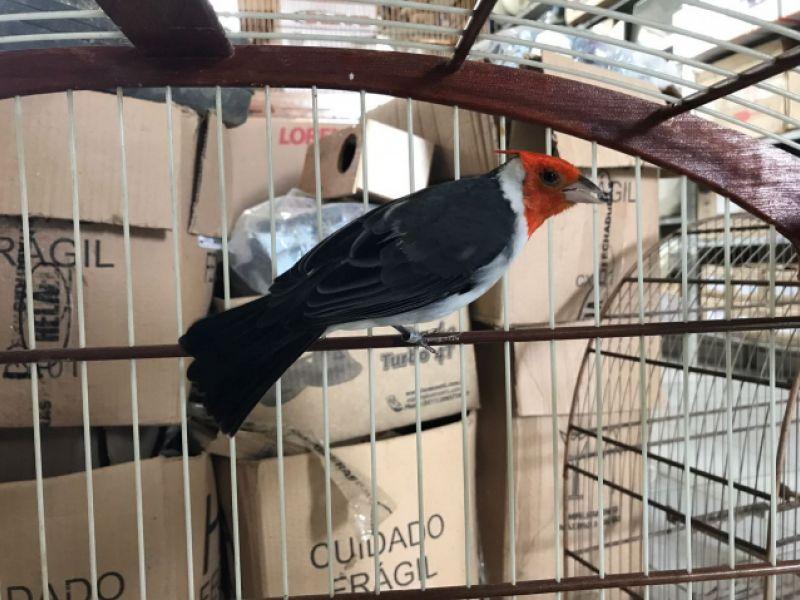 Equipe do IMA/AL alerta sobre a criação amadora de passeriformes