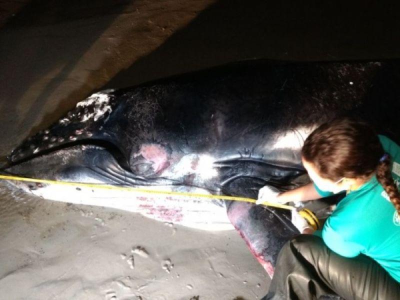 Jubarte que encalhou no Litoral Sul e foi reintroduzida ao mar é encontrada morta