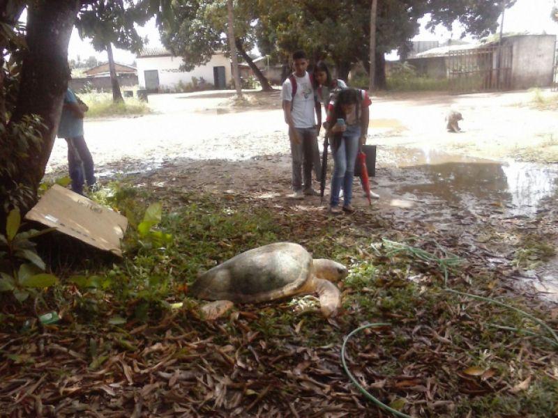 Tartaruga com a aproximadamente 190 kg é resgatada após encalhe em praia de Coruripe