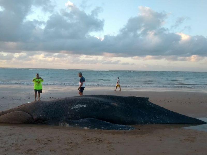 Baleia jubarte é encontrada morta na areia da praia da Lagoa do Pau