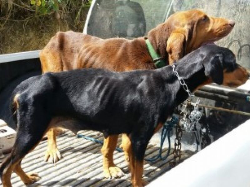 Maus-tratos: mais de 20 cães que estavam sendo treinados pra caça são resgatados em AL