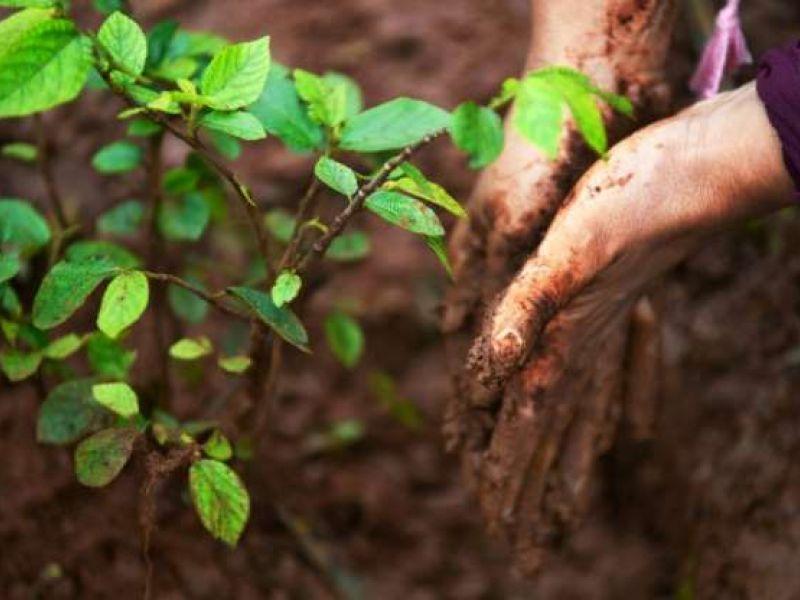 Plantar árvores está longe de ser a melhor solução para compensar CO2