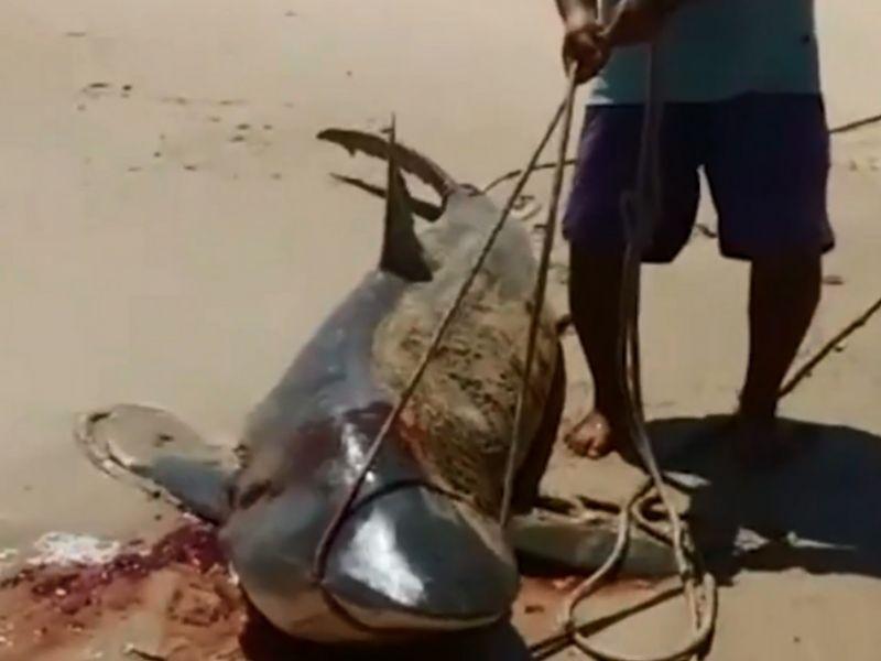 Tubarão ameaçado de extinção é morto por pescadores em praia de Coruripe