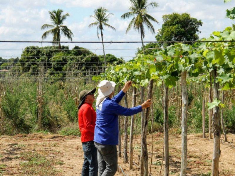 Cultivo da uva em Sergipe se expande para perímetro irrigado de Lagarto
